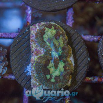 Rhodactis multicolour A563