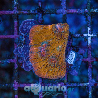 Echinophyllia gold G51