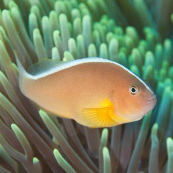 Amphiprion akallopisos m – Skunk Clownfish