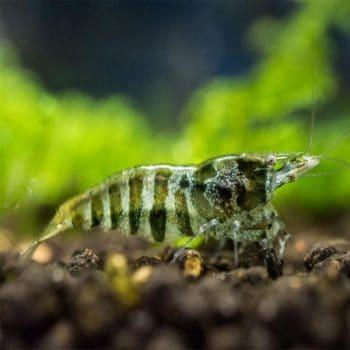 Neocaridina green shrimp