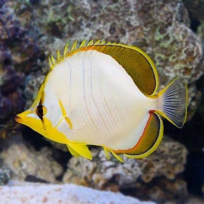 Chaetodon xanthocephalus S – Yellowhead Butterflyfish