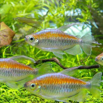 Phenacogrammus interruptus – Congo Tetra