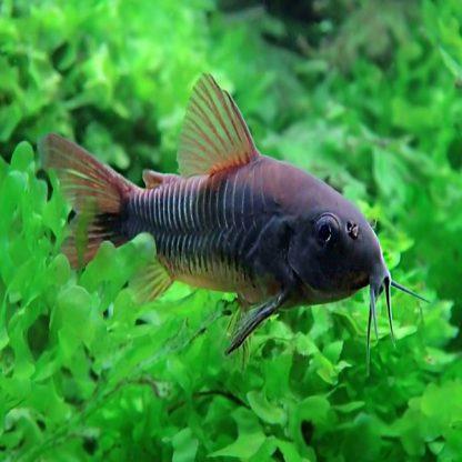 Corydoras schultzei – Venezuela Black Cory Catfish