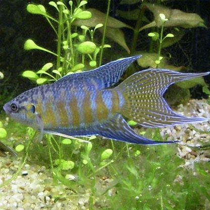 Macropodus opercularis – Paradise Fish