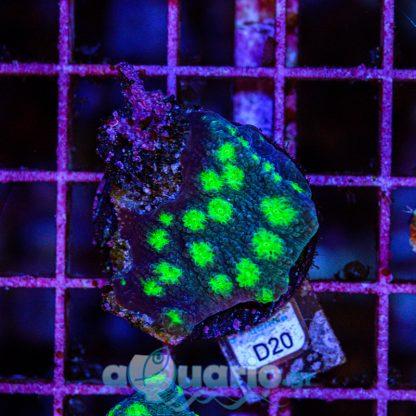 Echinopora D20