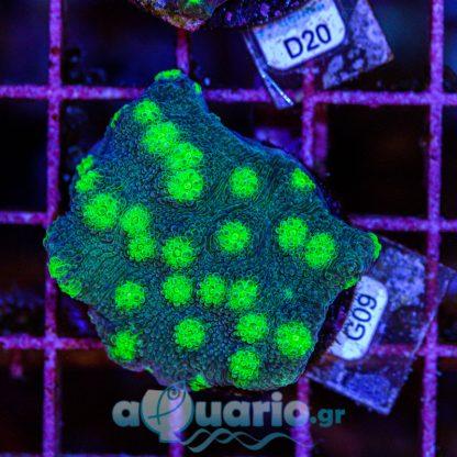Echinopora G09