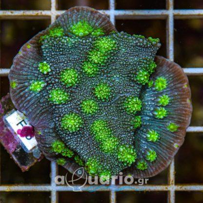 Echinopora F55