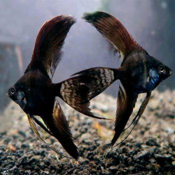 Pterophyllum scalare – Angelfish Black Longfin