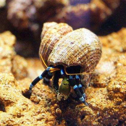 Calcinus elegans S – Blue Line Hermit Crab