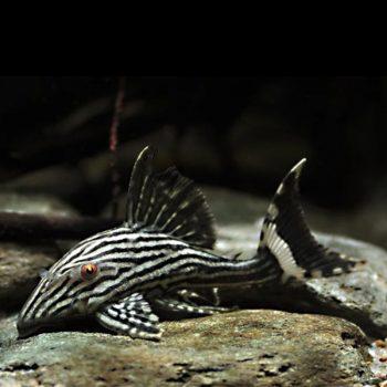 Panaque nigrolineatus – Royal Pleco L190