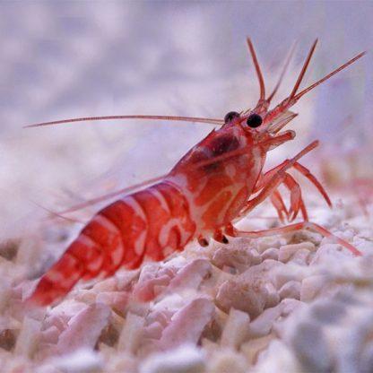 Lysmata kuekenthali – Striped Shrimp