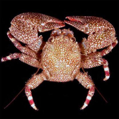 Petrolisthes sp. – Porcelain Crab