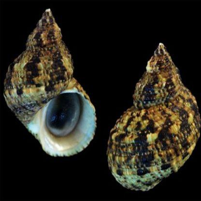 Turbo brunneus – Dwarf Turban Snail