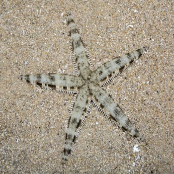 Archaster typicus – Sand Star