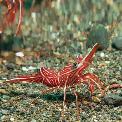 Rhynchocinetes uritai – Camel Shrimp