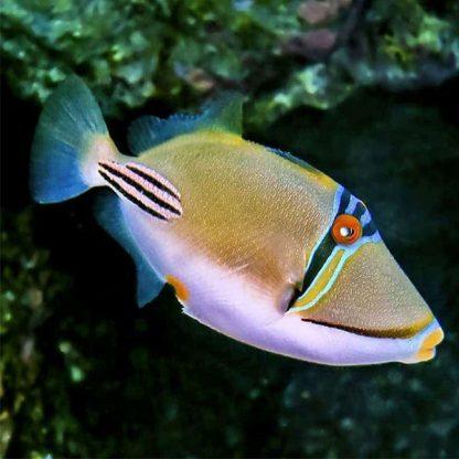 Rhinecanthus assasi M – Picasso Τriggerfish