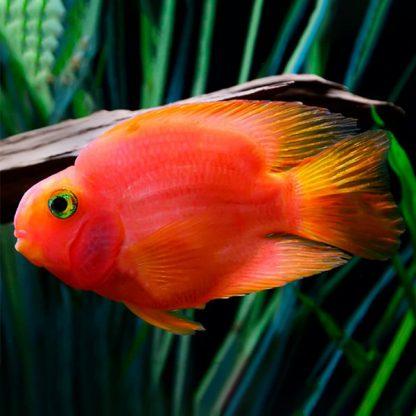 Amphilophus citrinellus red parrot