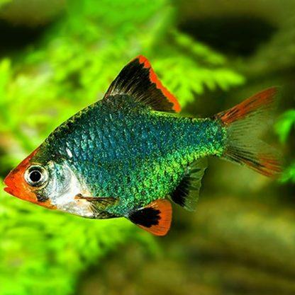 Puntius tetrazona – Tiger barb green