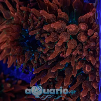 Bubble tip anemone red