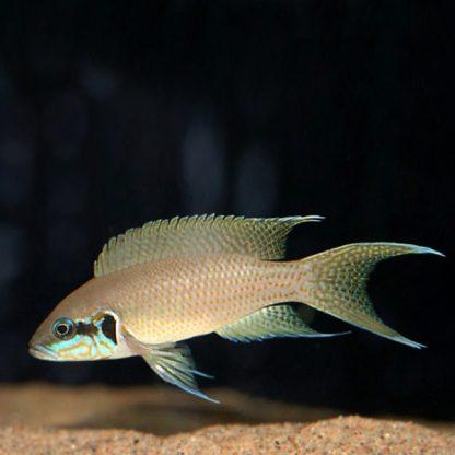 Neolamprologus brichardi – Fairy cichlid