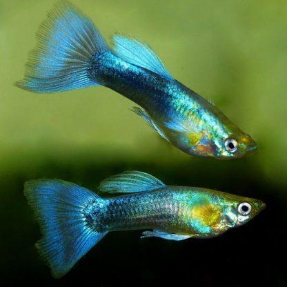 Poecilia reticulata guppy metallic blue neon males