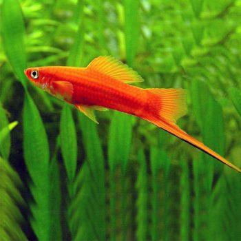 Xiphophorus hellerii  – Swordtail Red