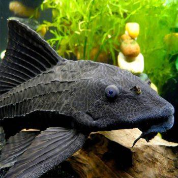 Hypostomus plecostomus – Common Pleco