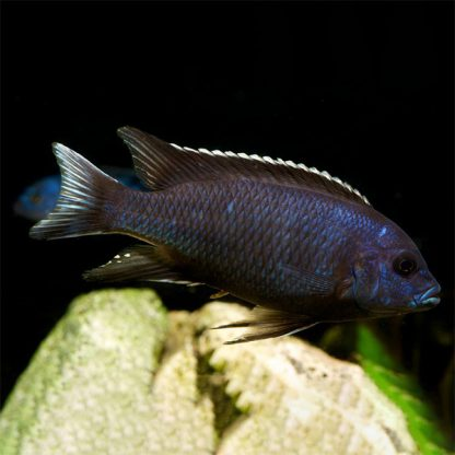 Pseudotropheus acei white tail 5-6 cm