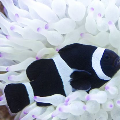 Amphiprion Ocellaris False Percula Var Black