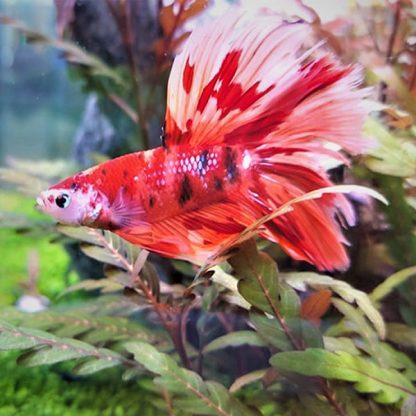 Betta sledens – Halfmoon Nemo Male Xl