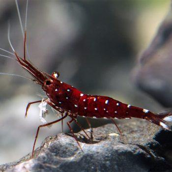 Caridina sulawesi- Dennerli Shrimp