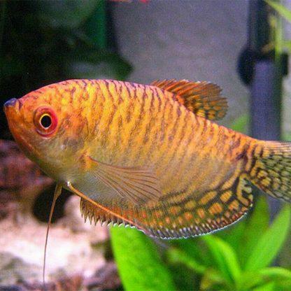 Trichogaster trichopterus gourami cosby gold