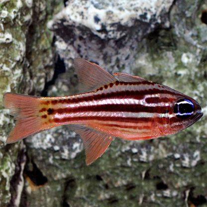 Apogon compressus – Ochre Striped Cardinalfish