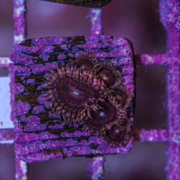 Pink sakura zoathus B536