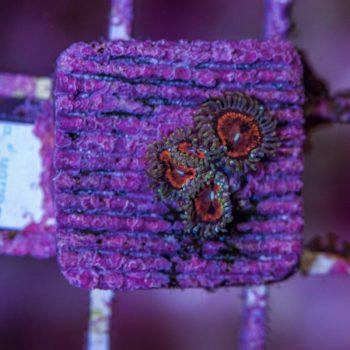 Bloodsuckers zoanthus A525