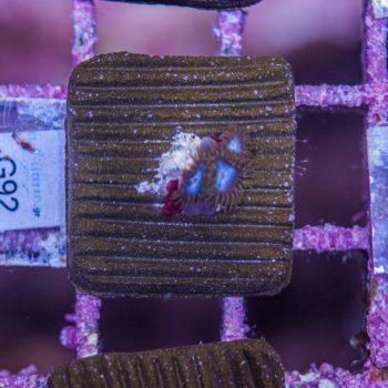 Smurf hd zoanthus G92
