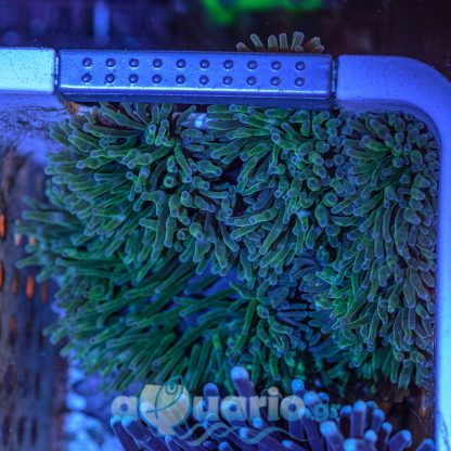 Bubble tip anemone green