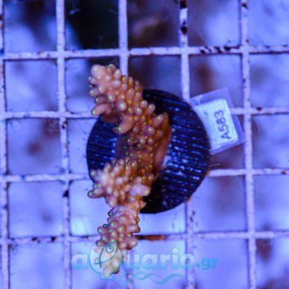 Acropora frag A583
