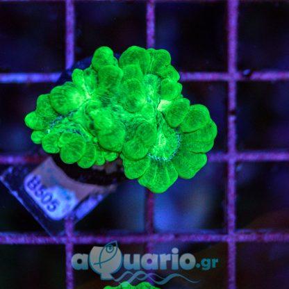 Caulastrea B505