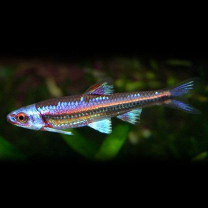Notropis chrosomus – Rainbow Shiner