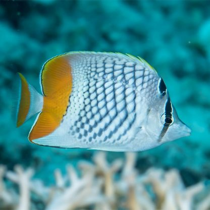 Chaetodon xanthurus – Pearlscale Butterflyfish