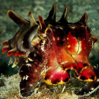 Metasepia prefferi – Flamboyant Cuttlefish