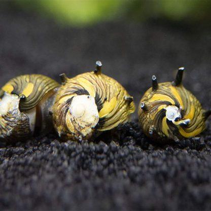 Neritina natalensis -Nerite Snail