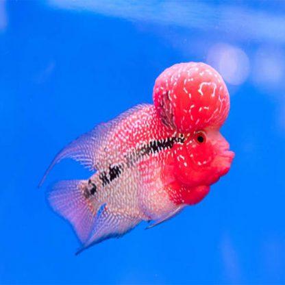 Amphilophus sp Pink And Blue Flower Horn