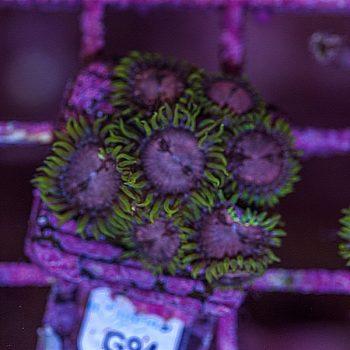 Purple monster zoanthus G94