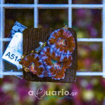 Acanthastrea A514