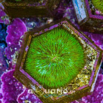 Fungia A72