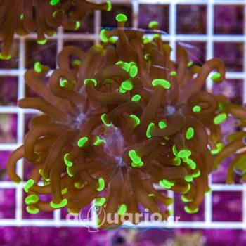 Euphyllia paraancora A562