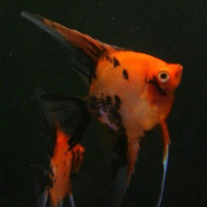 Pterophyllum scalare – Orange Koi