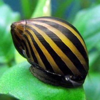 Neritina sp. – Zebra Snail